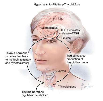 Anatomy And Physiology X 10 The Thyroid And How To Replace It