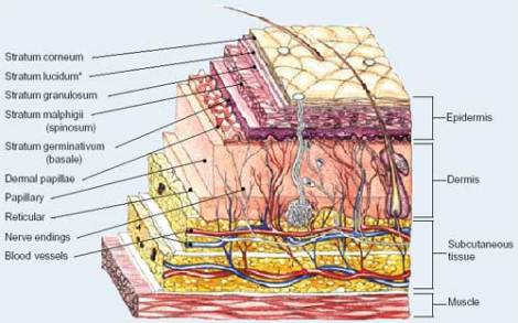 Source: http://pixshark.com/epidermis-and-dermis-layers.htm